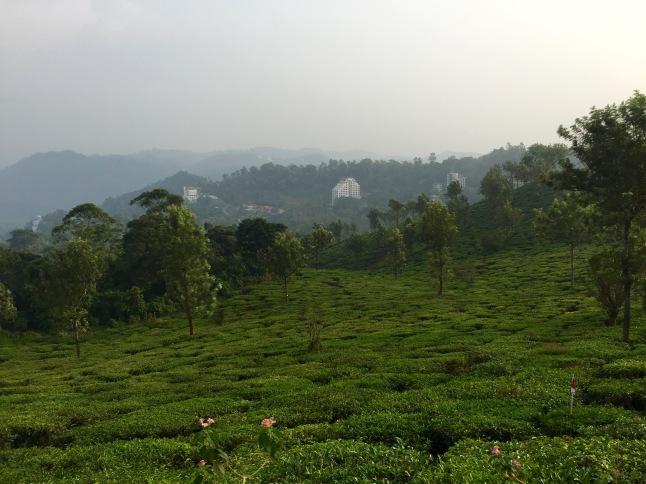Kerala-Munnar-theeplantage