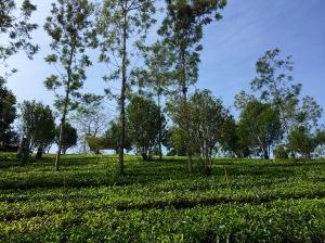 Kerala-theeplantage-Munnar