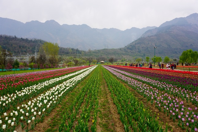 tulips-srinagar-kashmir-india